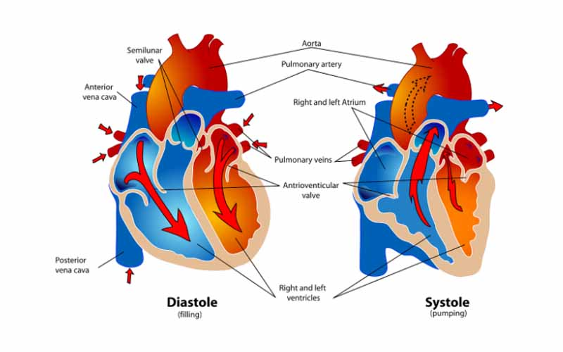A Heart and Blood Vessels