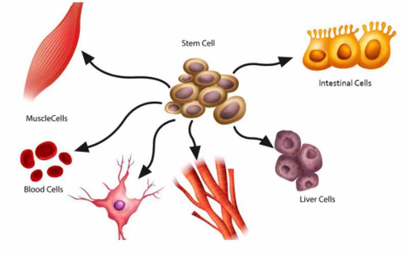 Different-stem-cells-in-the-human-body